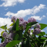 lilac-blossoms-with-blue-sky-190x190