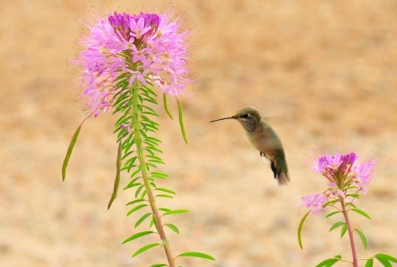 rufous-hummingbird-1161912_1280