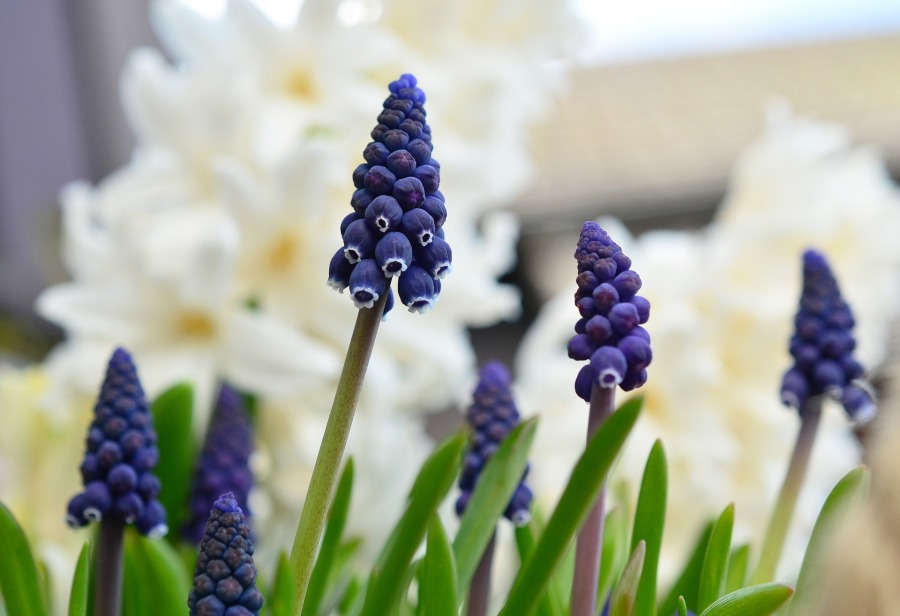 grape-hyacinth-1347970_1920
