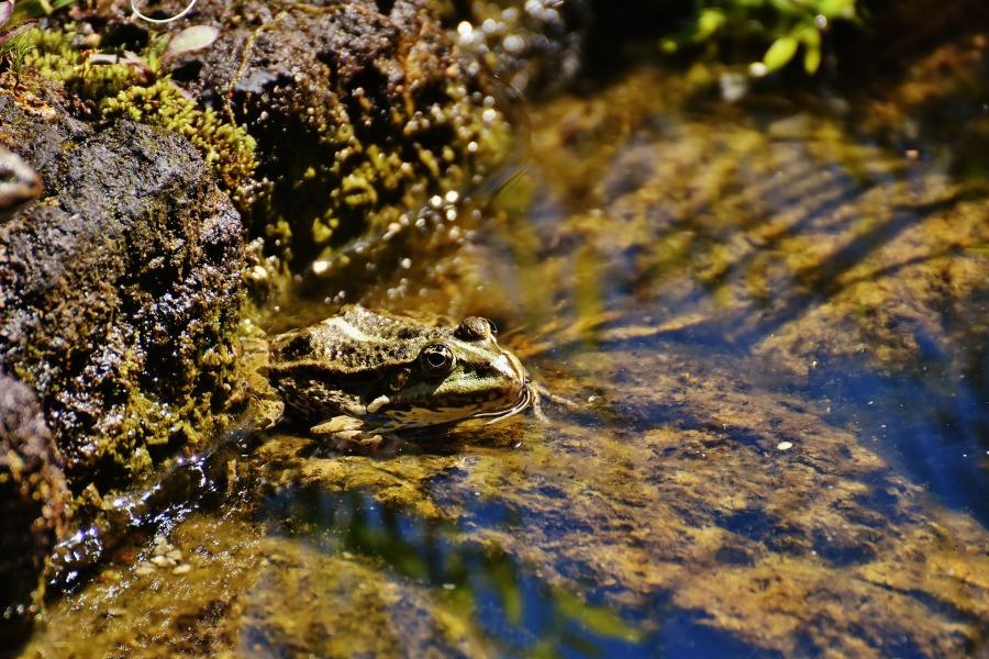 frog-2410771_1920