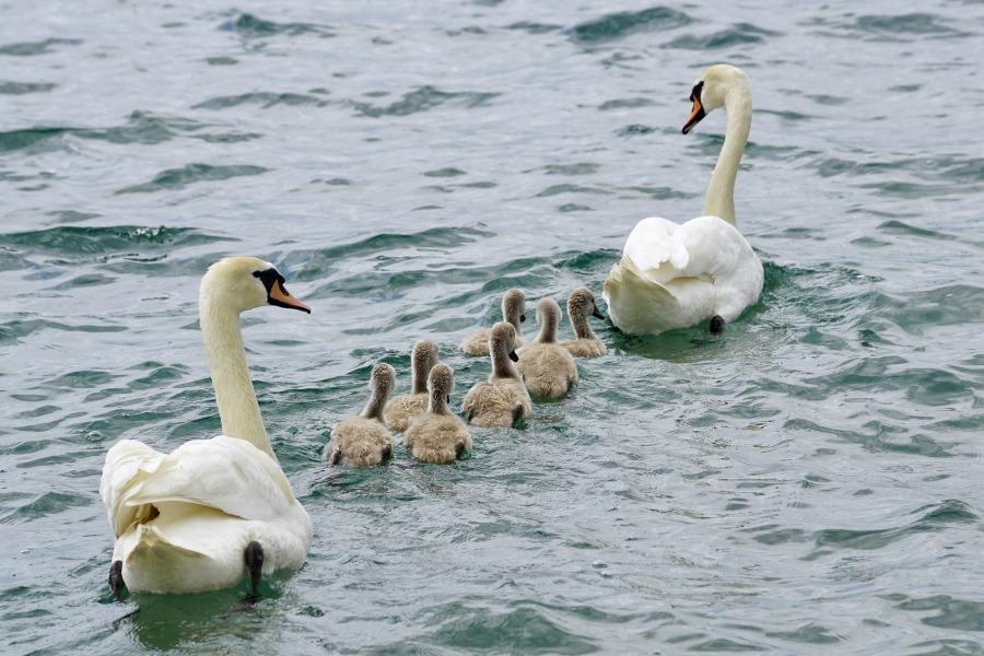 swans-2441210_1920